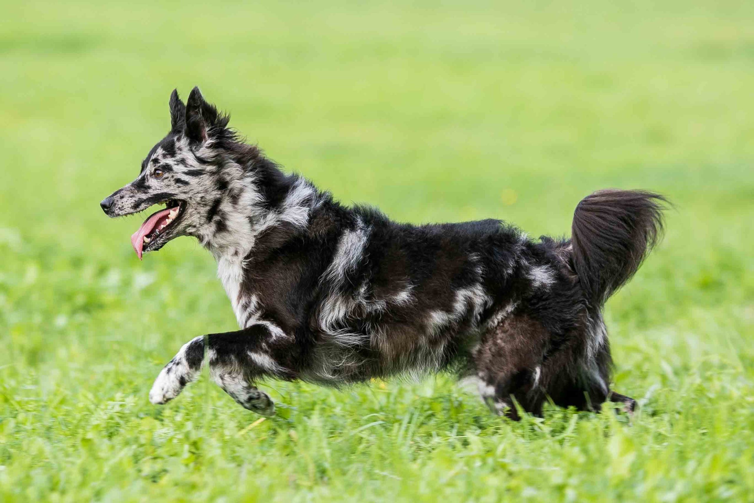 10+ Uncommon Canine Breeds Which You May By no means Have Heard Of